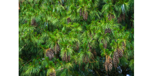 THE WHITE PINE: A LARGE AND POWERFUL TREE