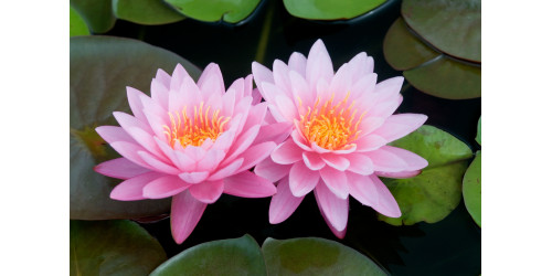 THE POWER OF MAGNIFICENT LOTUS