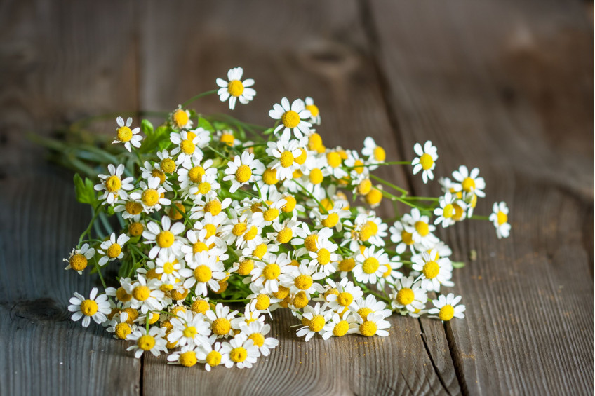 FEVERFEW: AN ACKNOWLEDGED MIGRAINE FIGHTER