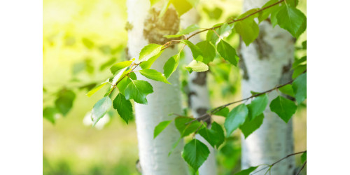 Birch heals most troubles