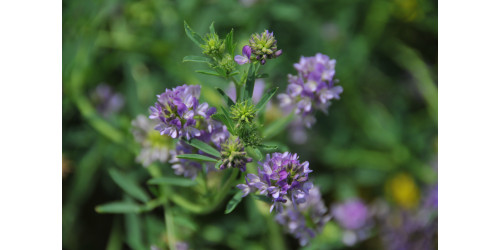 TREMENDOUS BENEFITS OF ALFALFA