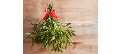 MYSTERIOUS AND HEALTHY MISTLETOE