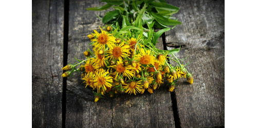 AMAZING BENEFITS OF ELECAMPANE ROOT