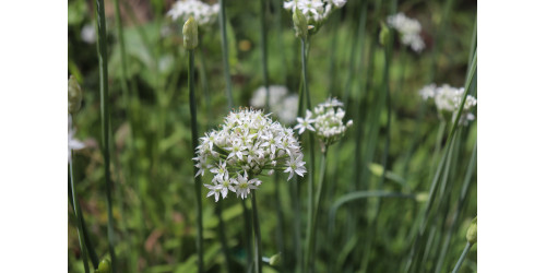ORIENTAL GARLIC, OR ALLIUM TUBEROSUM