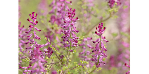 WHAT IS FUMITORY GOOD FOR?