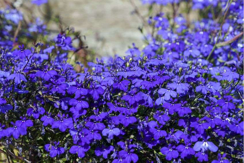 BEAUTIFUL LOBELIA WITH BEAUTIFUL BENEFITS