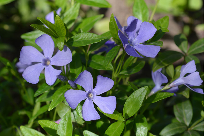 STUNNING PERIWINKLE BENEFITS