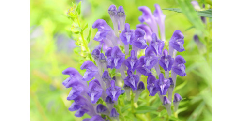 SCUTELLARIA: A NATURAL ADAPTOGEN